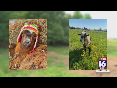 Watch: Vilonia farmer says neighbors dogs killed 8 of her goats